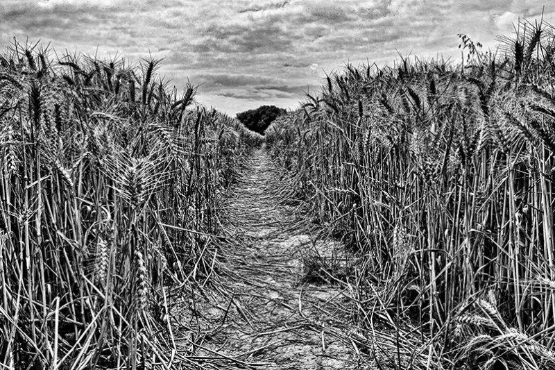 Through the wheatfield