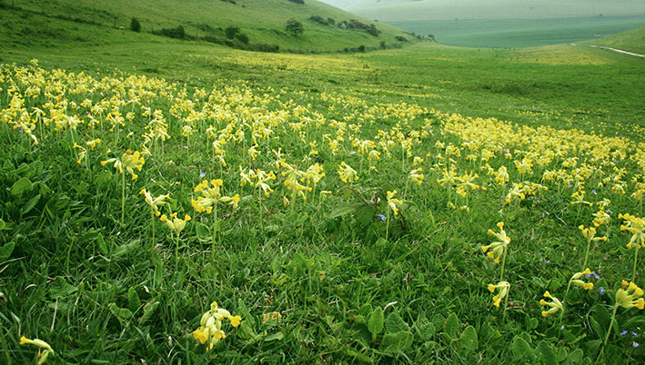 Sea of Cowslips