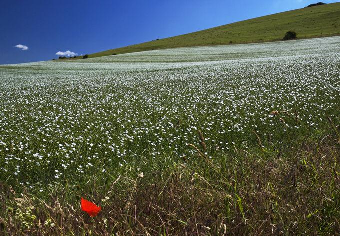 Solitary poppy
