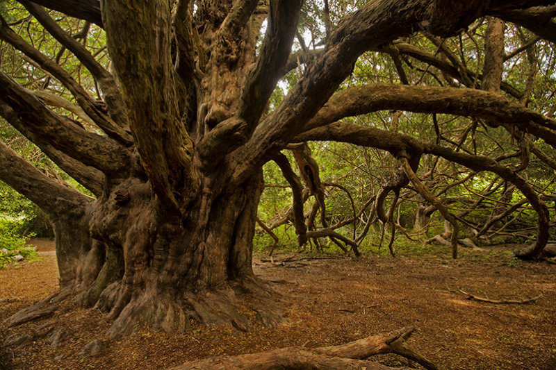 Magnificent Ancient Yew