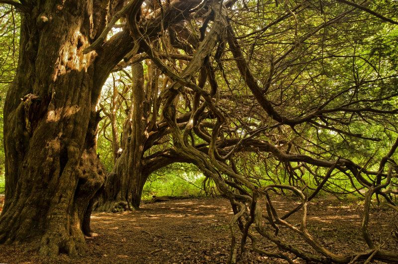 Ancient Yews (ii)