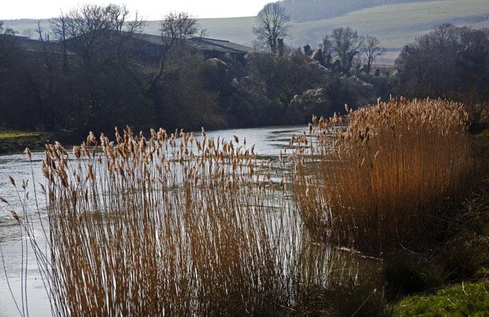 Last summer's reeds