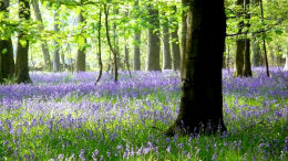 Cotswold Bluebell Wood