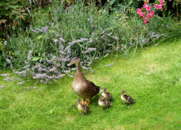 Dulverton Ducks