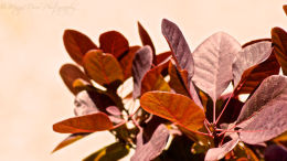 Fabulous Smoke Bush leaves