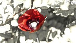 A solitary poppy