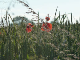 Poppies in the Wheat fields