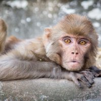 Rhesus Macaque Monkey at Pashupatinath 2017
