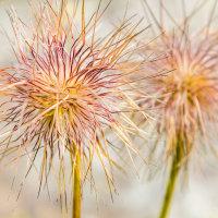 Seed Heads. (Pulsatilla alpina)