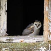 Barn Owl juv