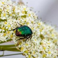Iridescencent Emerald Green Beetle