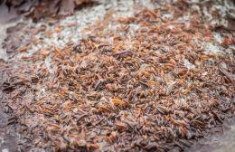 Sandhoppers galore