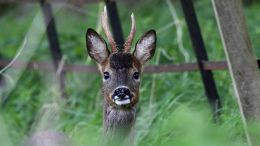 Surprised RoeBuck (Capreolus capreolus) on Dumfries Estate