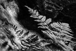 Forest Floor Fern Study #5