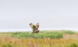 Short-eared Owl...Benbecula