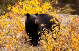 """ Foraging in the Fall""   Black Bear (Ursus americanus)"