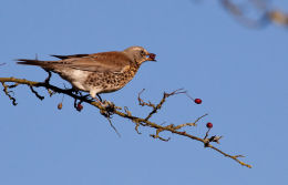 Fieldfare (Turdus pilaris) One down...two to go
