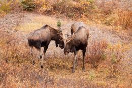 Moose ( Alces alces )