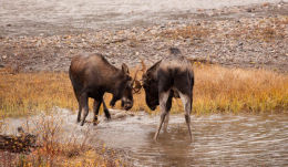 """The Water Fight""         Moose (Alces alces )"