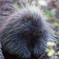 Canadian Porcupine (Erethizon dorsatum)
