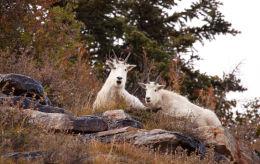 Rocky Mountain Goat (Oreamnos americanus)