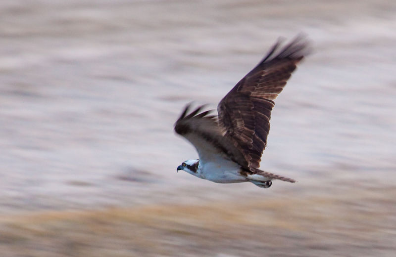 Panning for an Osprey (Pandion haliaetus)