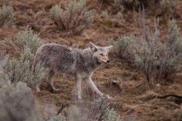 Coyote  (Canis latrans)