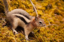 Golden-mantled Ground-Squirrel (Callospermophilus lateralis)