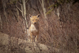 Inquisitive.....Coyote (Canis latrans)