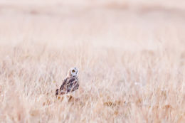 Short-eared Owl (Asio flammeus) Success