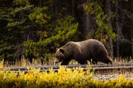 Only a Hobo         (Ursus arctos horribilis)
