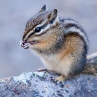 The Least Chipmunk (Neotamias minimus)