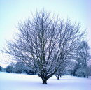 Order No X042: Season's Greetings! In the bleak midwinter: A solitary tree in University Parks, Oxford