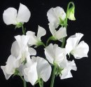F040a White Sweet Peas
