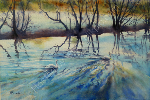 Swan Ripples on the Teme