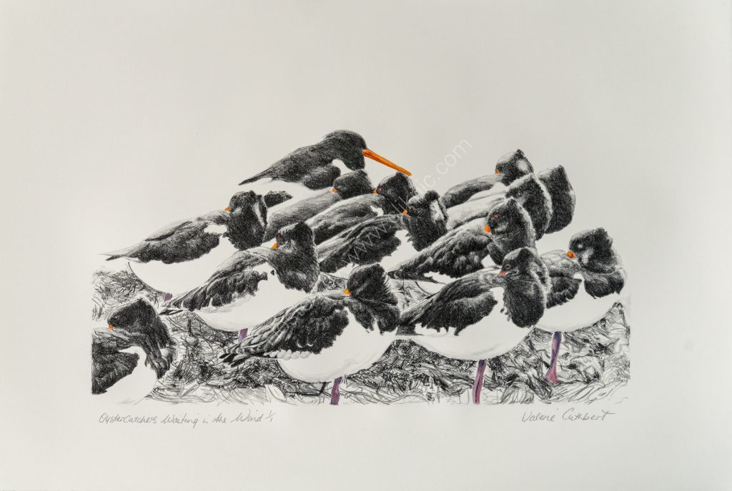 Oystercatchers - waiting in the wind for the tide to drop.Stone Lithograph.