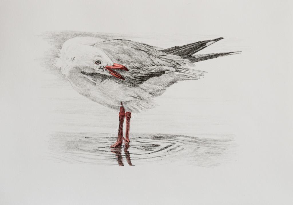 Seagull. Stone lithograph print.