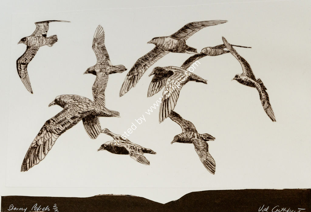 Storm Petrels. Drypoint print.