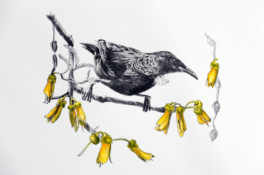 Tui and Kowhai. Stone lithograph. Limited edition