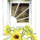 sunbeam, sunflower