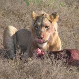 Yummy Lion Kill
