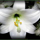 Lilium close up