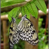 Tree_Nymph_Butterflies