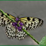 Brown_veined White - on flower