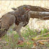 Martial Eagle and kill