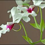 Orchid Calanthe V