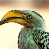 Yellowbilled Hornbill portrait