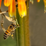 Bee on Wild Dagga Plant