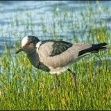 Blacksmith lapwing-6872