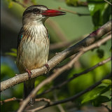 Brown Hooded Kingfisher-6840